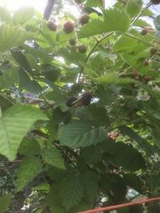 Blackberries ready to pick!